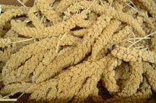 25lb Box-Golden Spray Millet